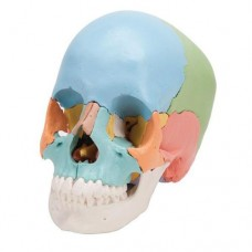 A291 SKULL KIT DIDACTIC VERSION