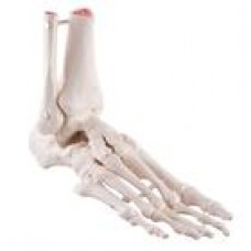 A31/1 LOOSE FOOT AND ANKLE SKELETON