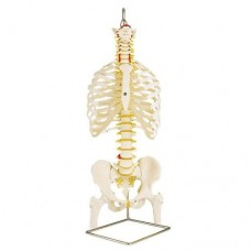 A56/2 CLASSIC FLEXIBLE SPINE WITH RIBS AND FEMUR HEADS