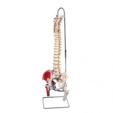 A58/3 CLASSIC FLEXIBLE SPINE WITH PAINTED MUSCLE