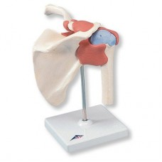 A80/1 DELUXE FUNCTIONAL SHOULDER JOINT MODEL
